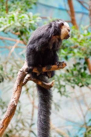 saki: Saki Monkey Head White  ( Pithecia Pithecia )