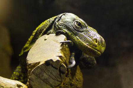 dragon: dangerous reptile Komodo Dragon Varanus komodoensis Stock Photo
