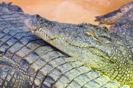 niloticus: detail of the head of a giant Nile crocodile (Crocodylus niloticus)