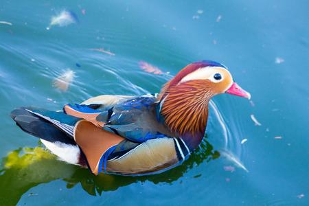 aix galericulata: Mandarin Duck (Aix galericulata)
