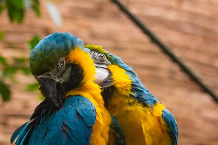 azul: pareja de Guacamayo Azul y Amarillo (Ara Ararauna) Stock Photo
