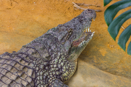 niloticus: giant Nile crocodile with its huge open mouth (Crocodylus niloticus) Stock Photo