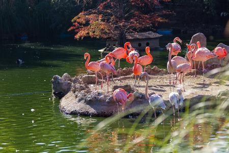 phoenicopterus: Common Flamingo (Phoenicopterus ruber)
