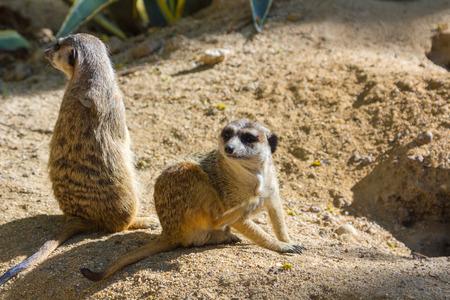 suricatta: Meerkat (Suricata suricatta)
