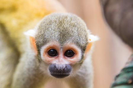 sciureus: yellow squirrel monkey (Saimiri sciureus)