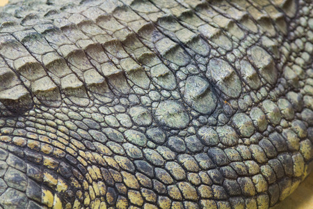 niloticus: detail of the hard skin of a giant Nile crocodile (Crocodylus niloticus) Stock Photo