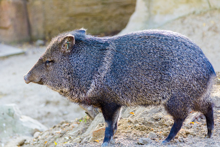 hunted: wild boar (Sus scrofa) Stock Photo