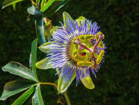passiflora: Passiflora in bloom