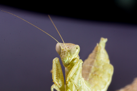 predatory insect: Macro image of an insect Praying mantis Stock Photo