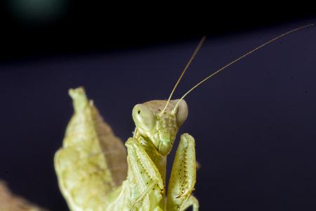 mantid: Macro image of an insect Praying mantis Stock Photo