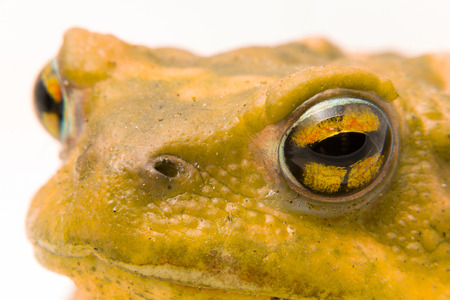 bufo toad: common toad (Bufo bufo) closeup of the head and eyes