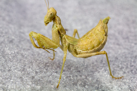 macro image: Macro image of an insect Praying mantis Stock Photo