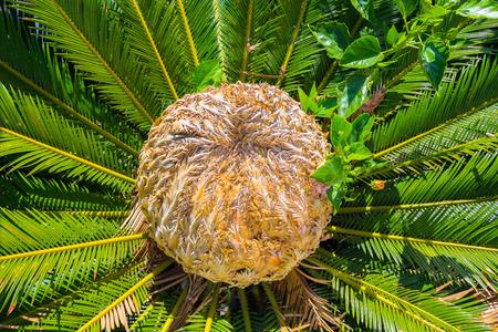 cycas: center of the palm Cycas revoluta