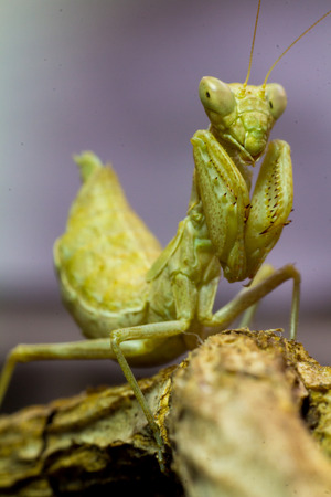 mantid: Macro image of an insect Praying mantis Stock Photo