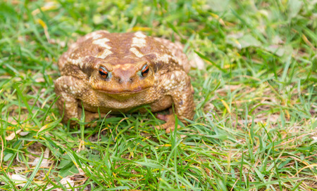 bufo toad: common toad (Bufo bufo) in the grass