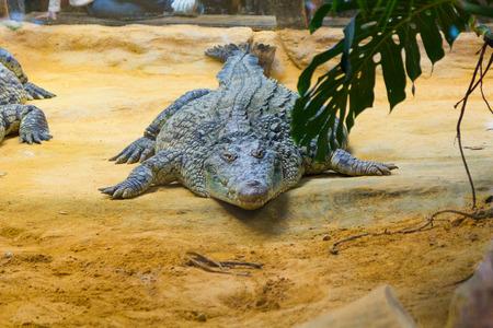 group of dangerous Nile crocodiles resting (Crocodylus niloticus)