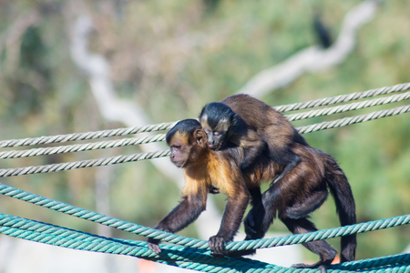 Capuchin monkey walking on a rope with a little to the back (Cebus apella) Stock Photo