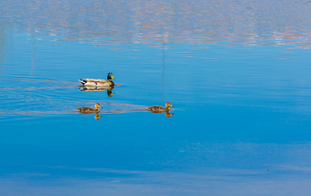 Family of ducks swim in a quiet river Stock Photo