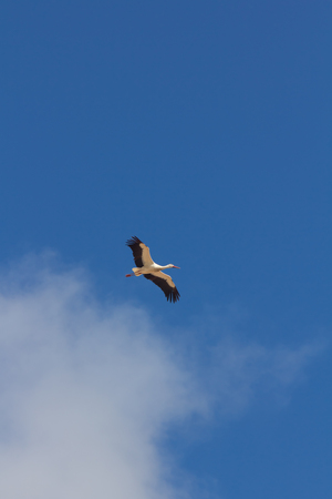 Storks flying over blue sky Stock Photo