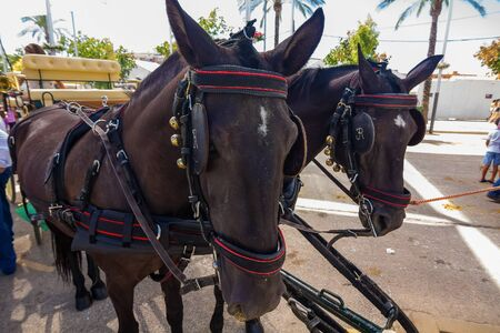 nice pair of black Andalusian horses with their preparations straps to pull a carriage