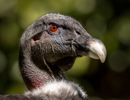 Headshot of an Andean Condor, the biggest flying bird in the world. Wingspan can be over 10ft! Banco de Imagens