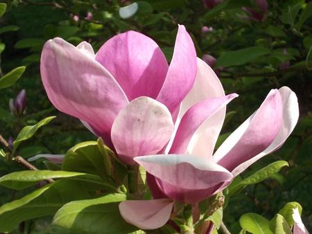 Pink Magnolia Flower Stock Photo - 11955989