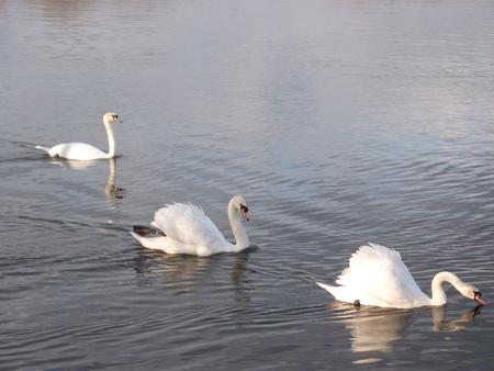 Three White Swans Stock Photo