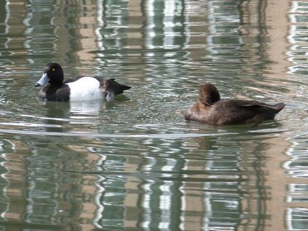 Pair of Tufted Ducks Stock Photo