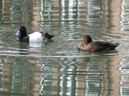 tufted: Pair of Tufted Ducks Stock Photo