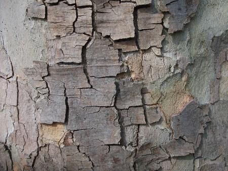 London Plane Tree Bark Stock Photo