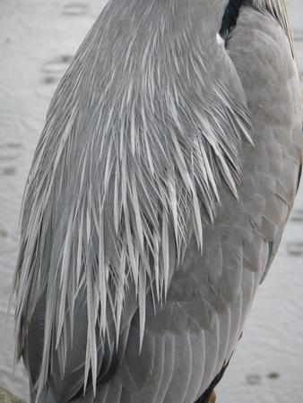 Back of Grey Heron