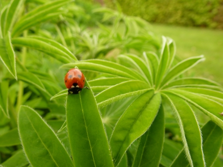 Red Ladybird on Lupin Stock Photo - 13620001
