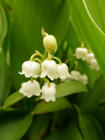 Lily Of The Valley Stock Photo - 13691024