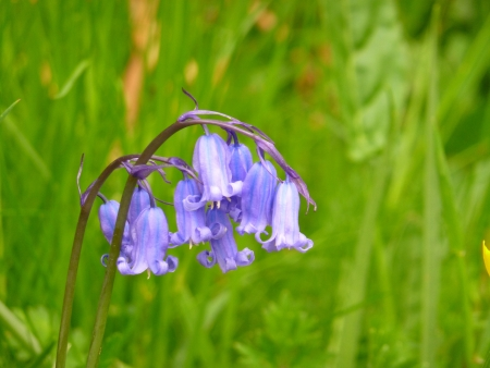 English Bluebell Flower Stock Photo