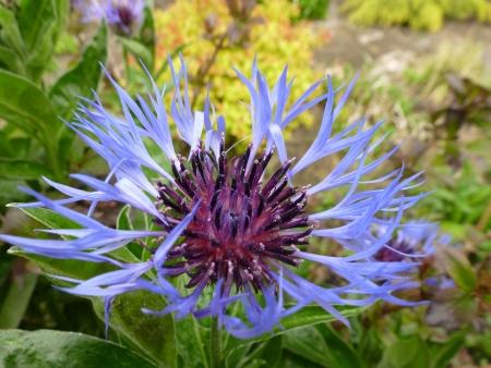 centaurea: Cornflower