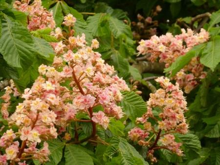 Horse Chestnut Blossom Stock Photo