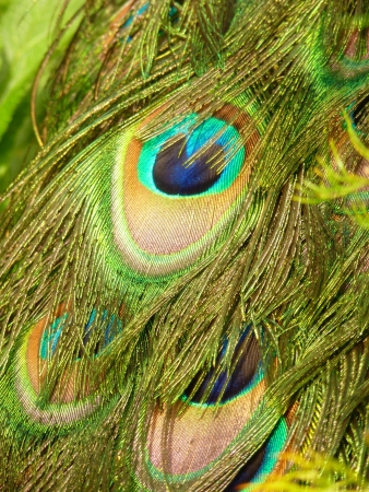 Peacock Feathers photo