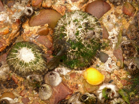 barnacles: Dog Whelk, Barnacles and Limpets