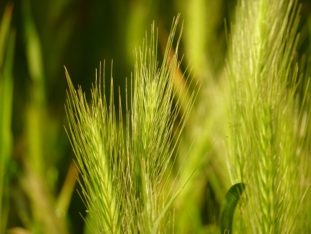 Sunlit Grass Seedheads Stock Photo