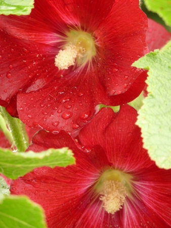Red Hollyhock Flowers Stock Photo - 14442864