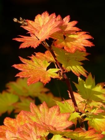 Full Moon Maple Leaves