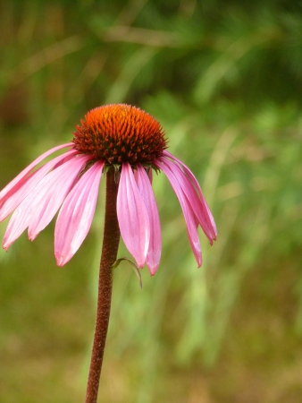 Coneflower Stock Photo - 14765700
