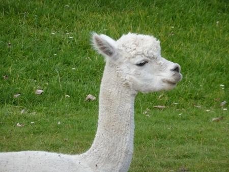 White Llama Stock Photo