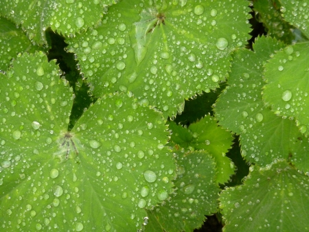 Alchemilla Mollis photo