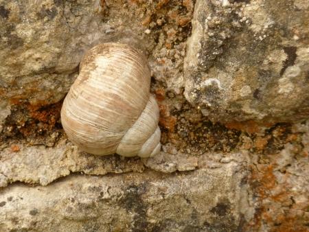 Roman Snail photo