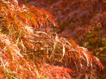 acer palmatum: Laceleaf Japanese Maple