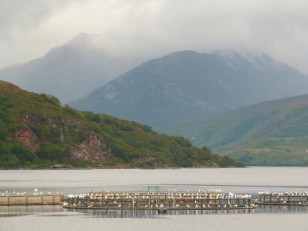 Gulls at Scottish Fish Farm