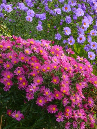 Pink and Blue Asters Stock Photo - 15683147