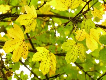 field maple: Yellow Field Maple Leaves