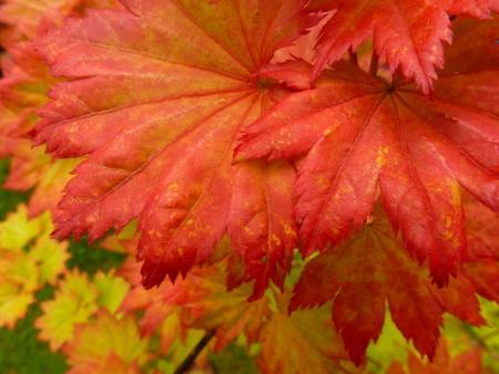 Full Moon Maple Leaves photo